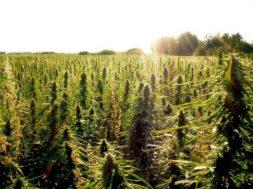 Aprueban decreto que regula el consumo de la mariguana para fines recreativos