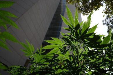 marihuana_chiapas