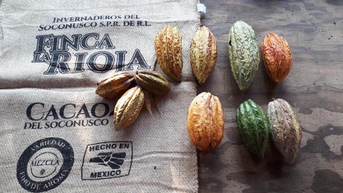 Por segundo año, el cacao del Soconusco se posiciona entre los mejores del mundo